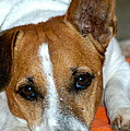 Scrappy The Jack Russell by Lehua Pekelo-Stearns