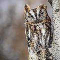 Screech Owl Checking You Out by LeeAnn McLaneGoetz McLaneGoetzStudioLLCcom