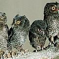 Screech Owl Chicks by Millard H. Sharp