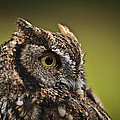 Screech Owl 1 by Wes and Dotty Weber