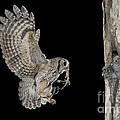Screech Owl Feeding Owlets by Anthony Mercieca