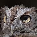 Screech Owl  by Frank Piercy