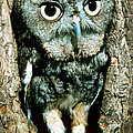 Screech Owl by Millard H. Sharp