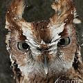 Screech Owl Portrait by Emma England