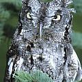 Screech Owl Straight On by Larry Allan
