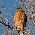 Screeching Red-shouldered Hawk by Kathleen Bishop