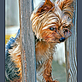 Scruffy Yorkie by Donna Proctor