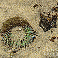 Sea Anenome Half Buried In The Sand by Artist and Photographer Laura Wrede