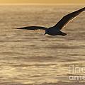 Sea Bird In Flight by Paul Topp