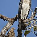 Sea Eagle And Brown Kite Sharing A Tree by Douglas Barnard