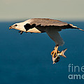 Sea Eagle With Catch by Michael  Nau