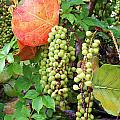 Sea Grapes And Poison Ivy by Chuck  Hicks