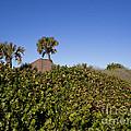 Sea Grapes On A Florida Sand Dune by Allan  Hughes