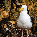 Sea Gull by Jon Berghoff