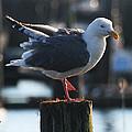 Sea Gull On Break by Tom Janca