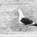 Sea Gull On Wharf Patrol by Jon Woodhams
