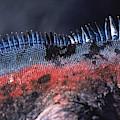 Sea Iguanas On Santiago And Floreanas by Peter McBride