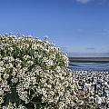 Sea Kale 6 by Arterra Picture Library