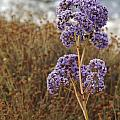 Sea Lavender In La Jolla by Anna Lisa Yoder
