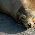 Sea Lion-00178 by Gary Gingrich Galleries