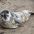 Seal Baby by David Millenheft