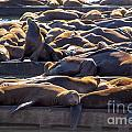 Sea Lion Colony by Brenda Kean