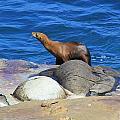 Sea Lion by Danielle Marie