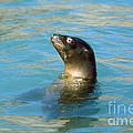 Sea Lion by James L. Amos