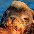 Sea Lion by Joseph Bowman