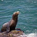 Sea Lion Posing by Dale Nelson