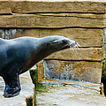Sea Lion Side View by Pati Photography