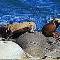 Sea Lions by Danielle Marie