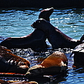 Sea Lions In San Francisco Bay by Aidan Moran