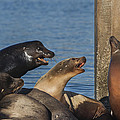 Sea Lions On The Pier by David Millenheft