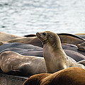 Sea Lions Sunning On Barge At Pier 39 San Francisco by Jit Lim
