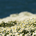Sea Mayweed And The Sea by Anne Gilbert
