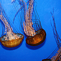 Sea Nettle Jelly Fish 5d25076 by Wingsdomain Art and Photography