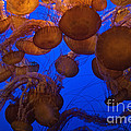 Sea Nettle Jellyfish by Connie Bransilver