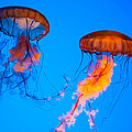 Sea Nettles by Anthony Sacco