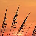 Sea Oat Sunset by JC Findley