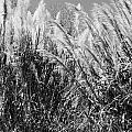 Sea Oats In The Glades by Chuck  Hicks