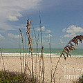 Sea Oats by Robert Brice