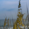 Sea Oats  by Shane Holsclaw