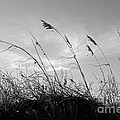 Sea Oats Silhouette by Michelle Constantine