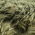 Sea Of Barley  by George Barker