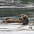Sea Otter Profile by Shoal Hollingsworth