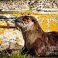 Sea Otter by Robert Bales