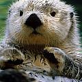 Sea Otter Swimming At Tacoma Zoo Captive by Harry M. Walker