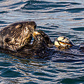 Sea Otter With Clam 2 by Randy Straka