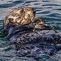 Sea Otter With Clam by Randy Straka